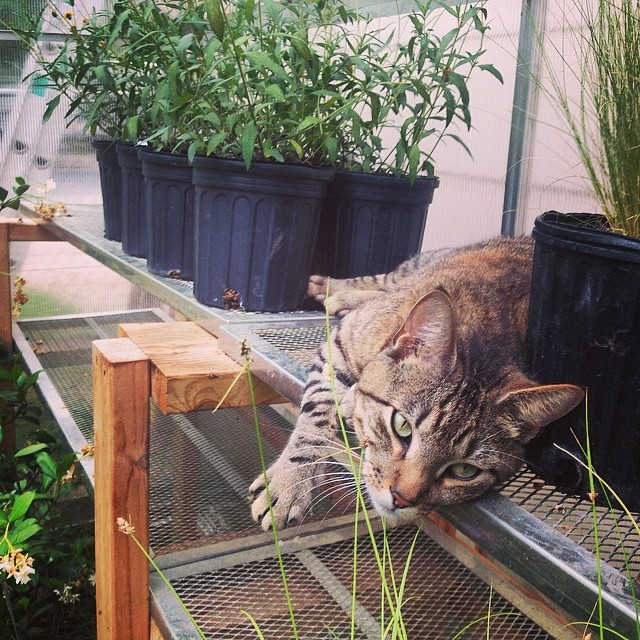 What are you doing in there Tucker? #catsofinstagram #landscapecat #gardencat #greenhouse #nativeedgelandscape