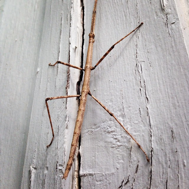 Found this little bugger crawling around the new office! Already attracting wildlife! #nativeedge #stick #friends #stickfigure #walkingstick #wildlife #atx #summer